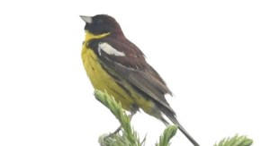 サハリンの鳥類 ポロナイスク