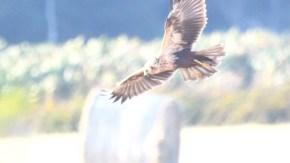 牧草地にチュウヒ幼鳥