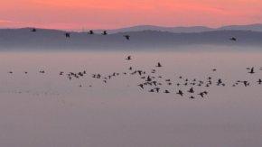 朝霧を越えて(霧とマガン)