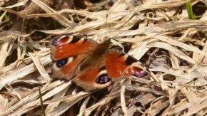 春を告げる蝶・クジャクチョウ