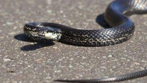 日向ぼっこ中のカラスヘビ(シマヘビ)