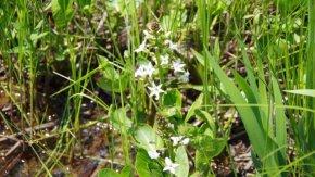 サロベツ湿原 最新開花情報 200602