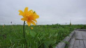 サロベツ湿原 最新開花情報 200615