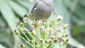 フキの花を食べるウソ
