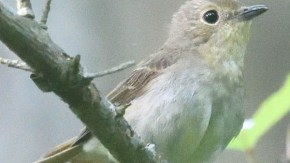 キビタキ幼鳥