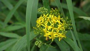 サロベツ湿原 最新開花情報 200817