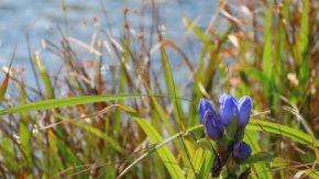 サロベツ湿原 最新開花情報 200921