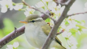 スモモの木に集まる小鳥たち