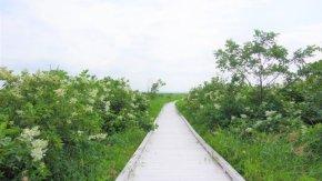サロベツ湿原最新開花情報+木道のようす210723