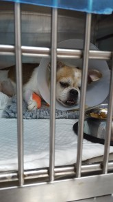 Poor Little after his operation.