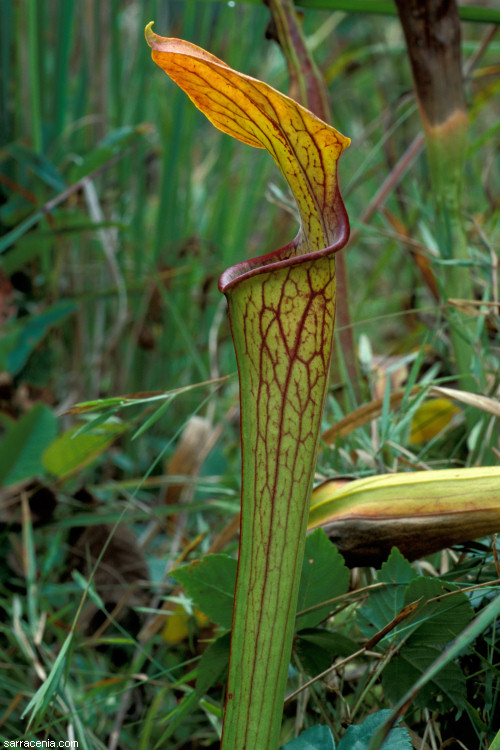 The Carnivorous Plant FAQ What Carnivorous Plants Are Covered By CITES