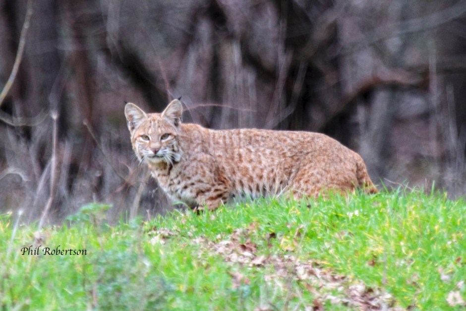 Bobcat at Hemphill Dam