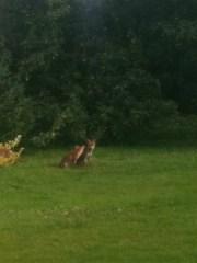 My London fox friends