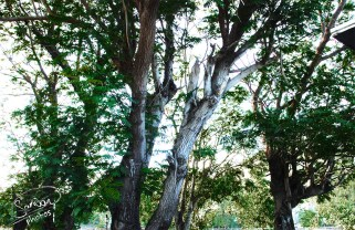 Royal College Port Louis Trees Photography