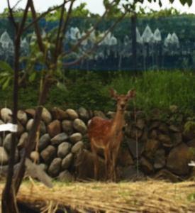 家の畑に小鹿がやってきた