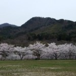 桜~旧桑川小学校にて