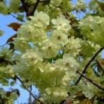 黄桜~ウコン(鬱金)