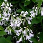 白い花~笹川流れ