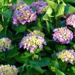紫陽花~笹川流れにて
