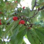 サンシュユ(山茱萸)~念珠の松庭園