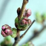 桜はまだかいな~♪