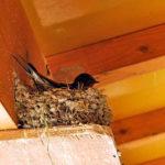ツバメ(燕)の巣籠り~笹川流れ