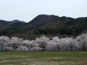 旧桑川小学校の桜