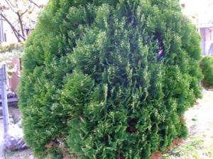 ヒバ(檜葉)状の葉をした植物