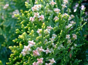 白い花(ヒバ?)