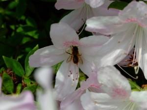 ツツジとミツバチ