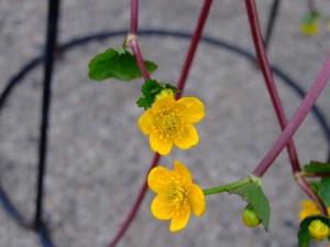 立金花の花