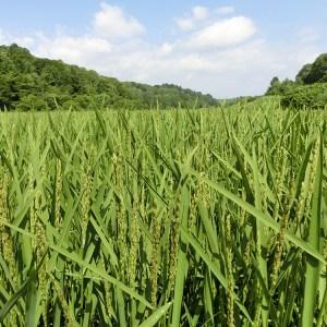 北竜町 もち米の稲穂