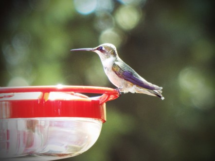 hummingbird summer