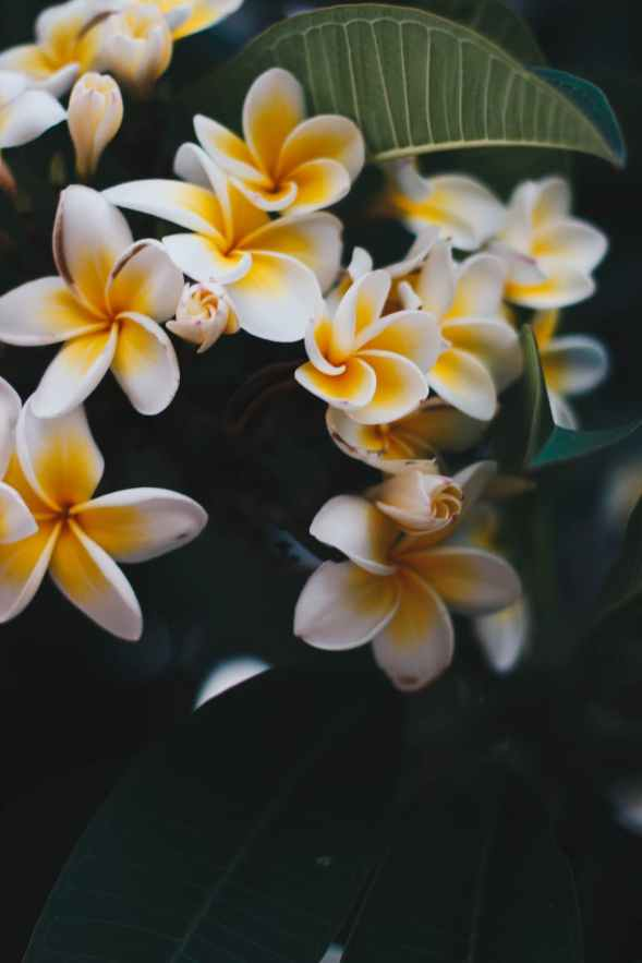 photo of yellow and white frangipani flowers