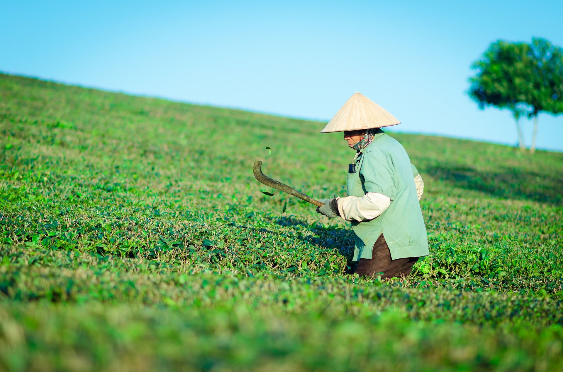Green tea comes to us from Asia. Photo: Pixabay.com | License: CC0 public domain