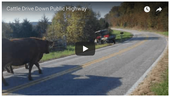 Sassafras Valley Ranch | South Poll Cattle Drive on Public Highway