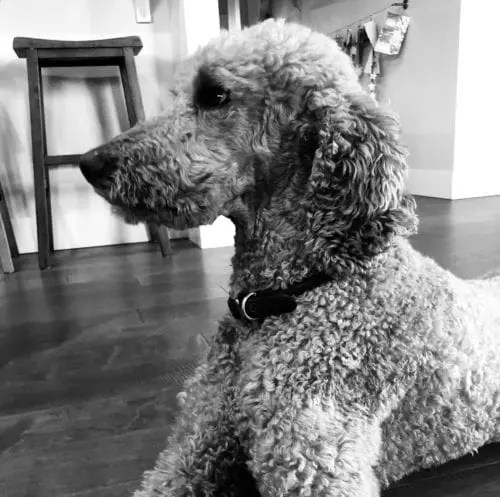 One Familys Experience With A Standard Poodle The Best