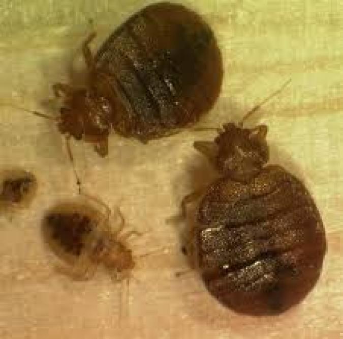 Bedbug bites, bedbug infestation