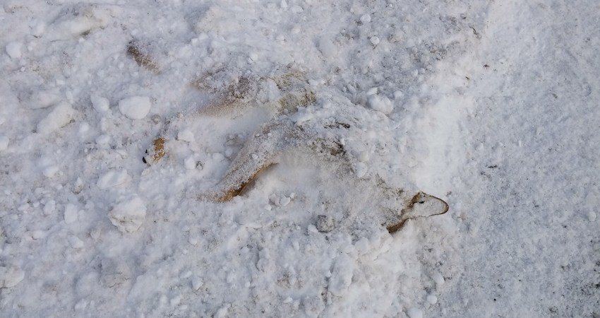 Frozen, Dead Fox