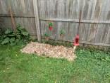 Strawberry patch, mulch