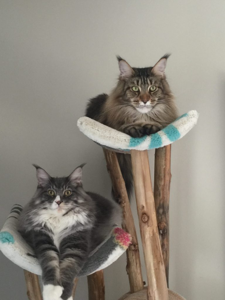Breeding-Maine-Coons