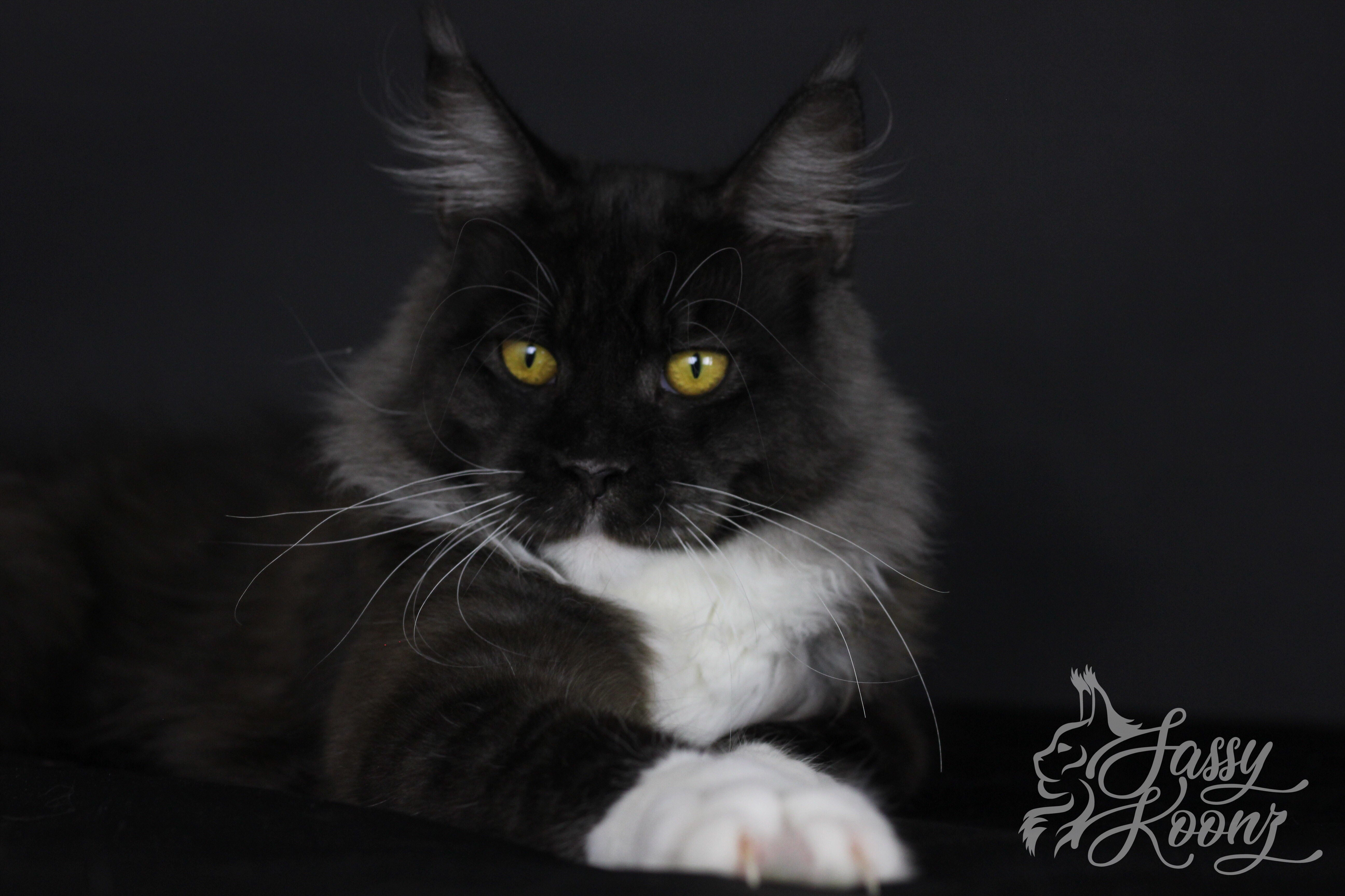Sassy Koonz Specializes in European Maine Coons