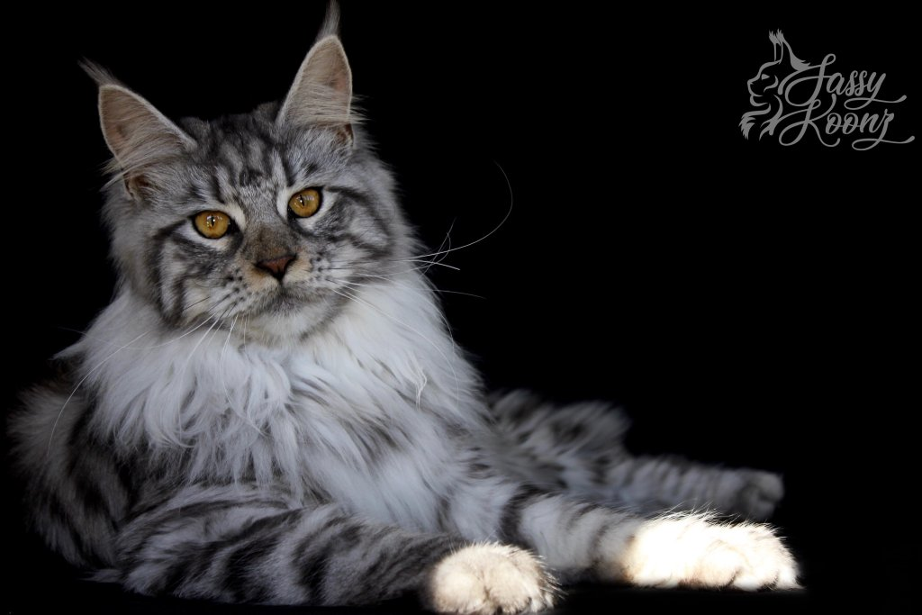 Maine Coon Florida