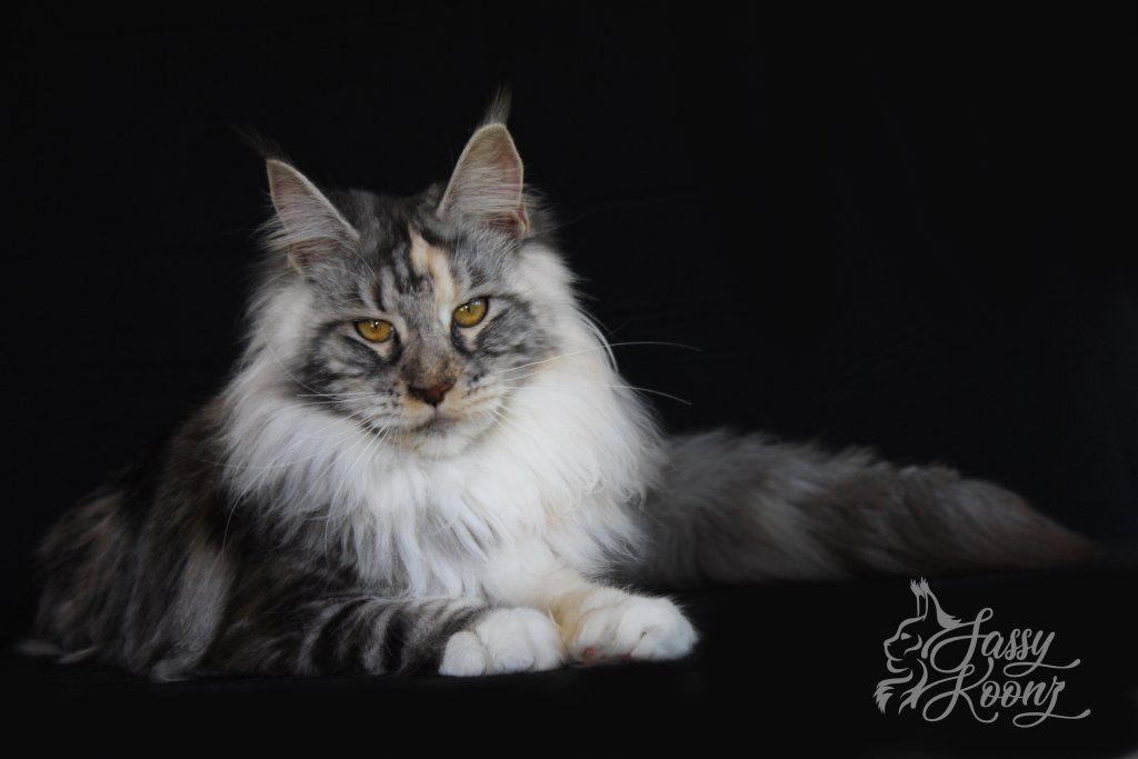 black silver torbie Maine Coon