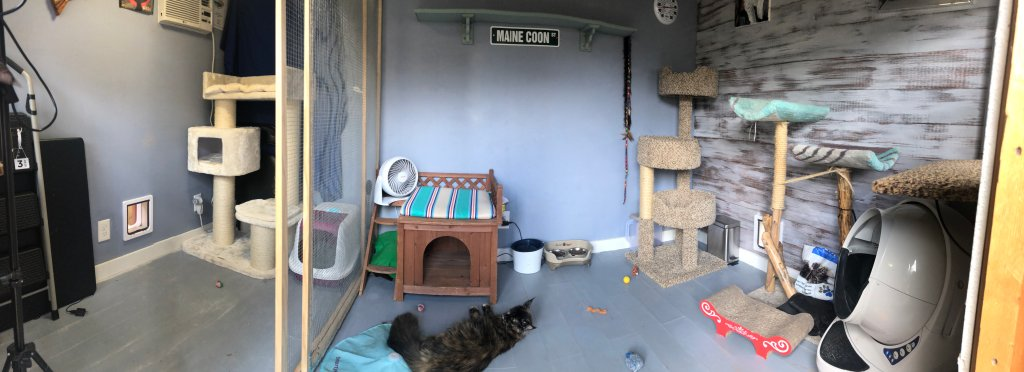 inside a maine coon cattery