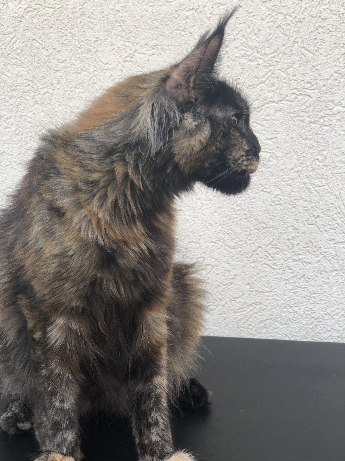 Maine Coon Profile