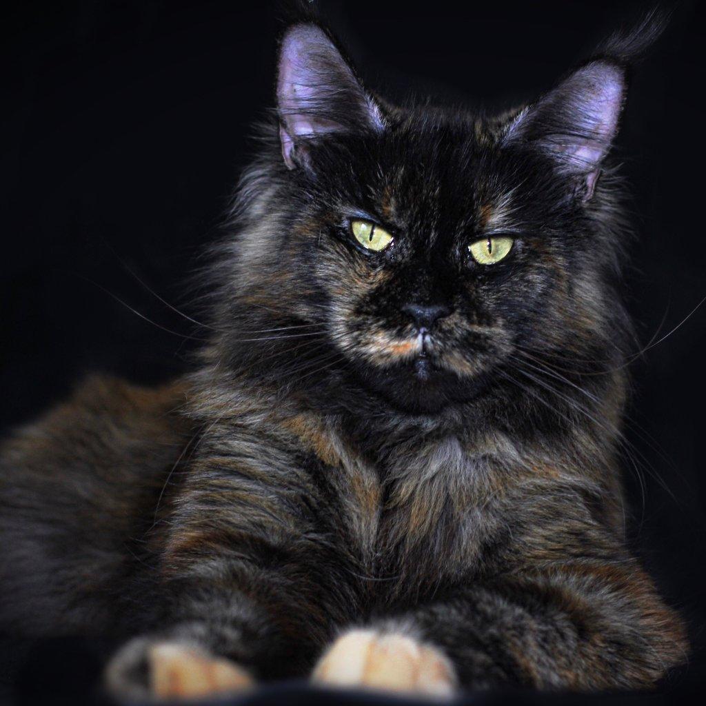 maine coon cat breeders