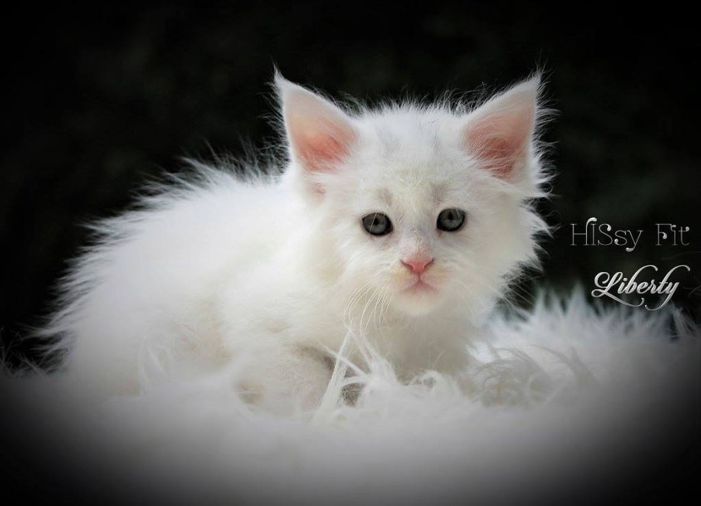 white maine coon kitten