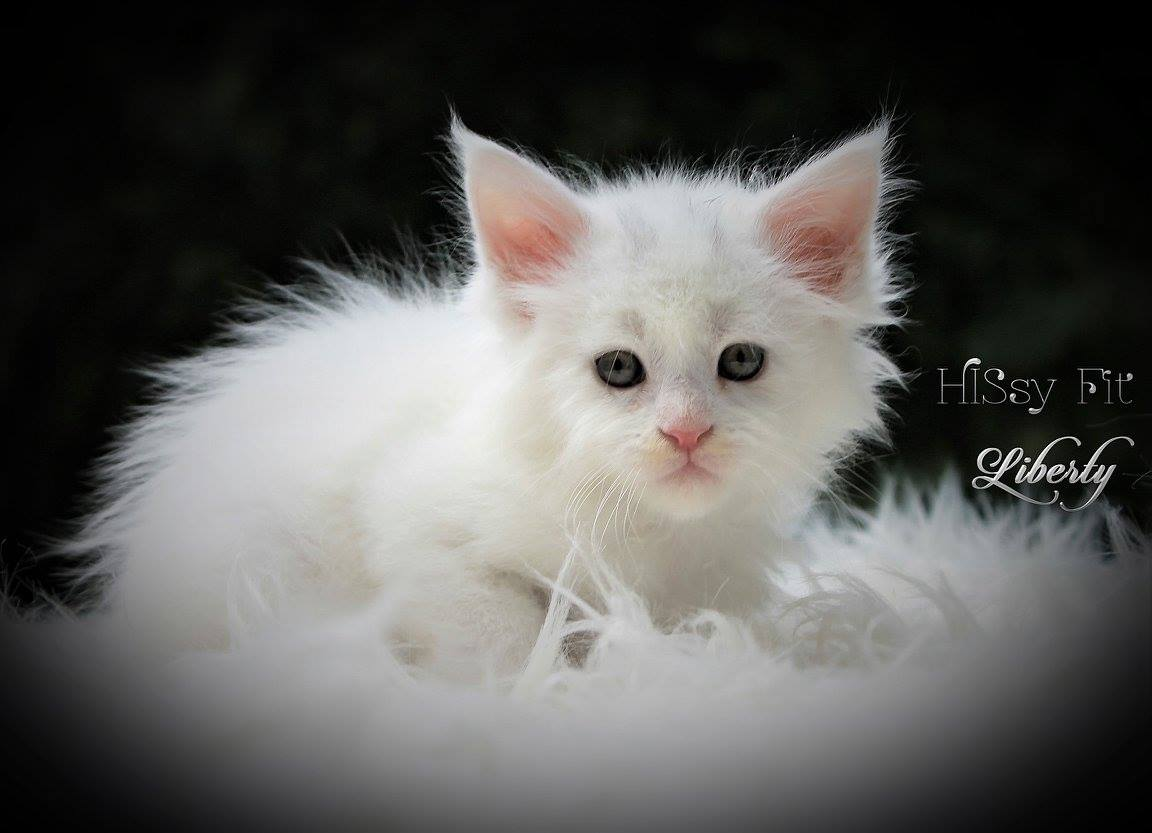 white maine coon kittens