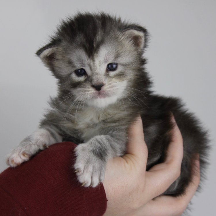 Maine Coon kittens Jacksonville Florida